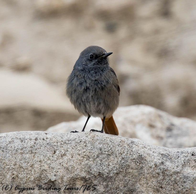 Western Black Redstart, Amathus Archaeological Site, 5th February 2017 (c) Cyprus Birding Tours