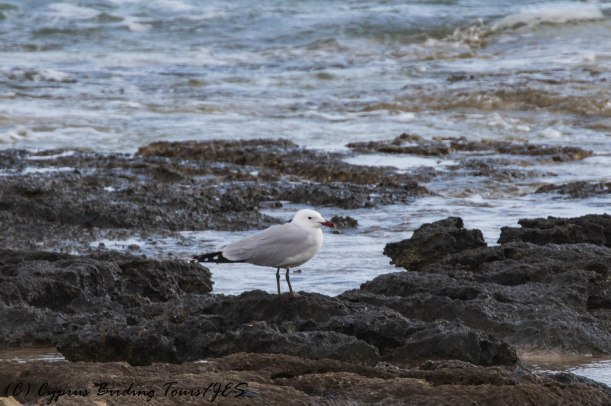Audouin's Gull, Kermia Beach, 13th March 2017 (c) Cyprus Birding Tours