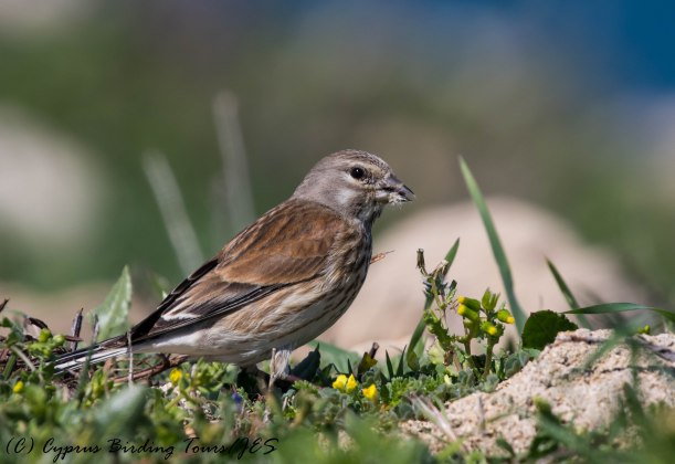 Common Linnet female, Paphos Headland 3rd March 2017 (c) Cyprus Birding Tours