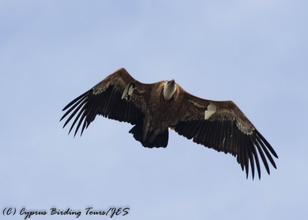 Eurasian Griffon Vulture, Archimandrita, 27th March 2017 (c) Cyprus Birding Tours
