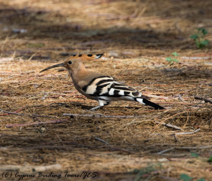 Eurasian Hoopoe, Paphos Headland 3rd March 2017 (c) Cyprus Birding Tours
