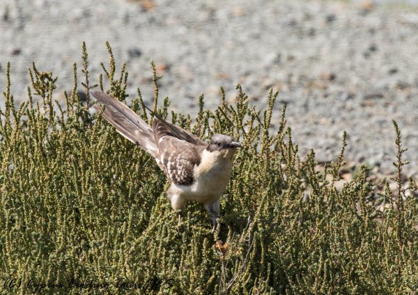 Great Spotted Cuckoo, Larnaca Sewage Works 29th March 2017 (c) Cyprus Birding Tours