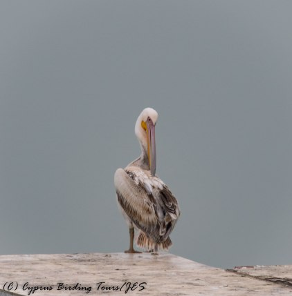 Great White Pelican, Akhna Dam 17th March 2017 (c) Cyprus Birding Tours