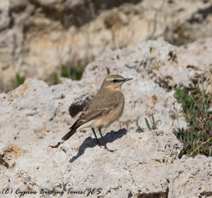 Isabelline Wheatear, Paphos Headland 3rd March 2017 (c) Cyprus Birding Tours