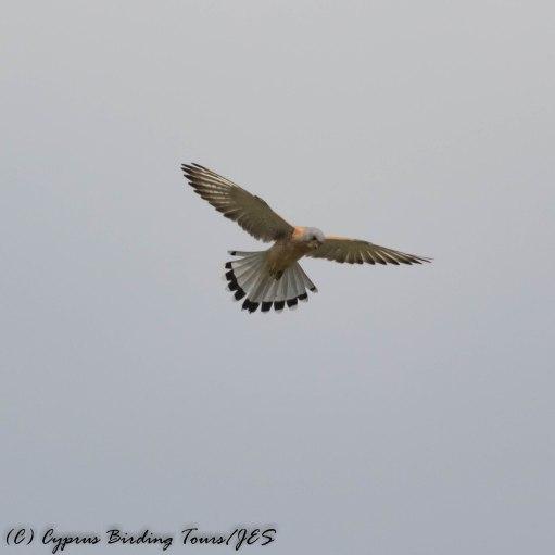 Lesser Kestrel, Kivisilli, 29th March 2017 (c) Cyprus Birding Tours