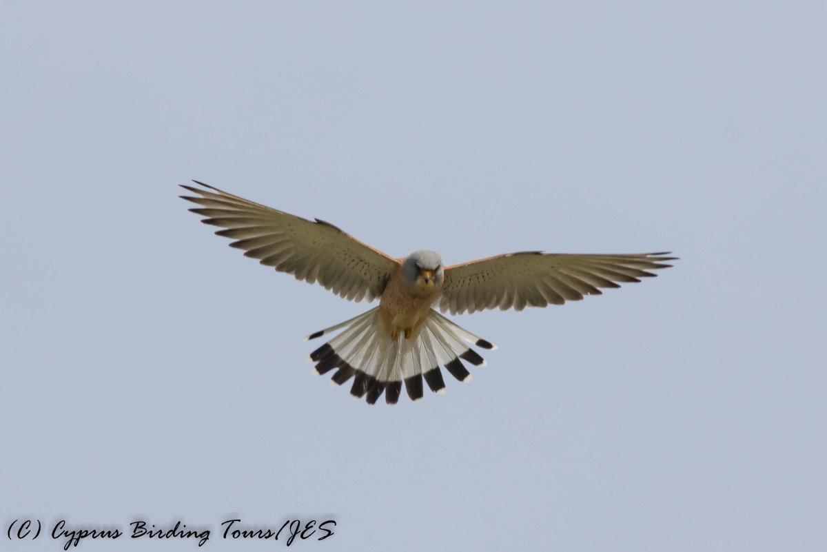 Lesser Kestrel, Anarita Park 10th March 2017 (c) Cyprus Birding Tours