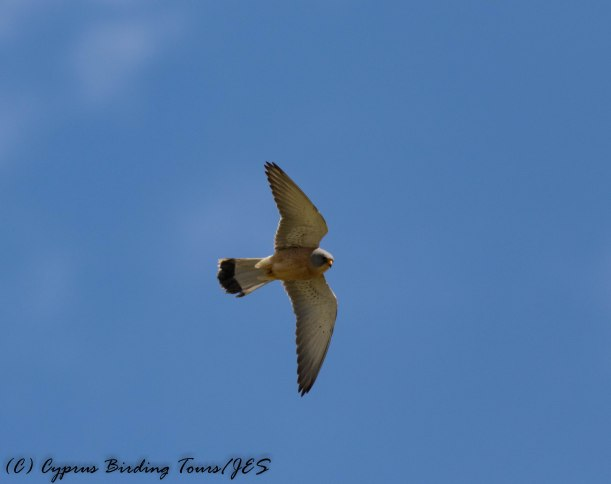 Lesser Kestrel, Anarita Park 15th March 2017 (c) Cyprus Birding Tours