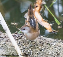 Little Crake, Larnaca Salt Lake, 17th March 2017 (c) Cyprus Birding Tours