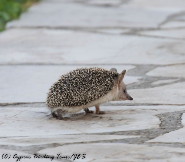 Long-eared Hedgehog, Paphos 27th March 2017 (c) Cyprus Birding Tours