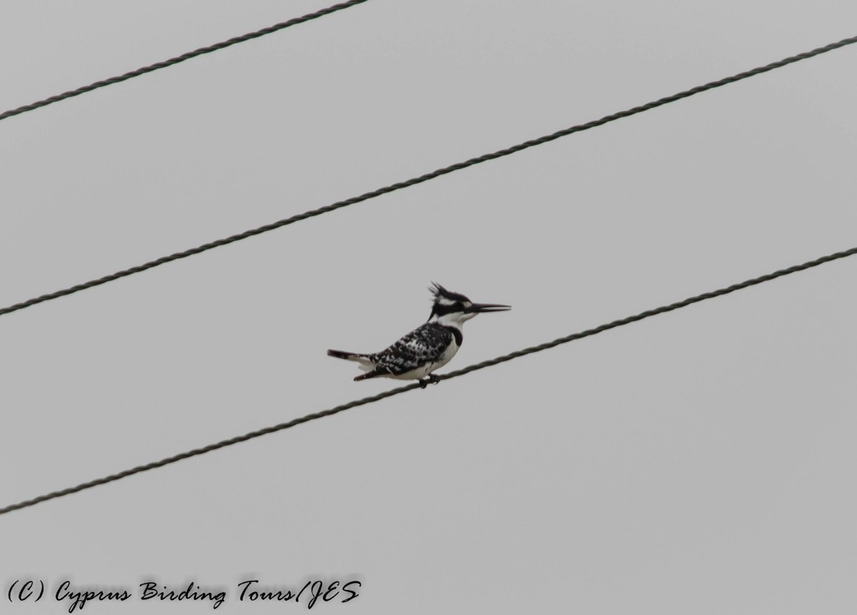 Pied Kingfisher, Oroklini 17th March 2017 (c) Cyprus Birding Tours