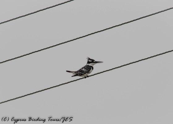 Pied Kingfisher, Oroklini 17th March 2017 (c) Cyprus Birding Tours