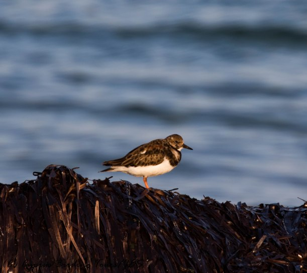 Ruddy Turnstone, Paphos Headland 28th March 2017 (c) Cyprus Birding Tours