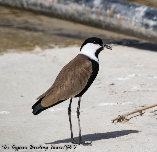 Spur-winged Lapwing, Larnaca Salt Lake 18th March 2017 (c) Cyprus Birding Tours