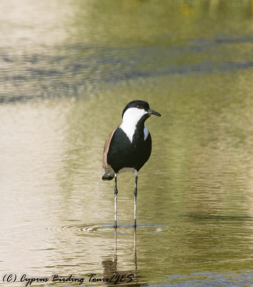 Spur-winged Lapwing, Larnaca Salt Lake, 20th March 2017 (c) Cyprus Birding Tours