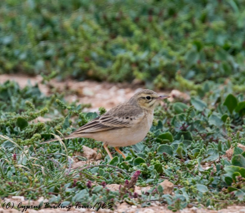 Tawny Pipit, Kefelos Beach, 22nd March 2017 (c) Cyprus Birding Tours