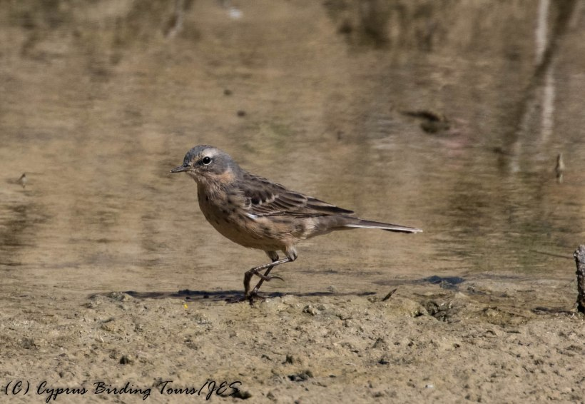 Water Pipit, Larnaca Salt Lake 18th March 2017 (c) Cyprus Birding Tours