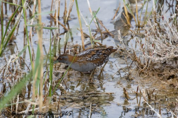Baillon's Crake, Zakaki Marsh 26th April 2017 (c) Cyprus Birding Tours