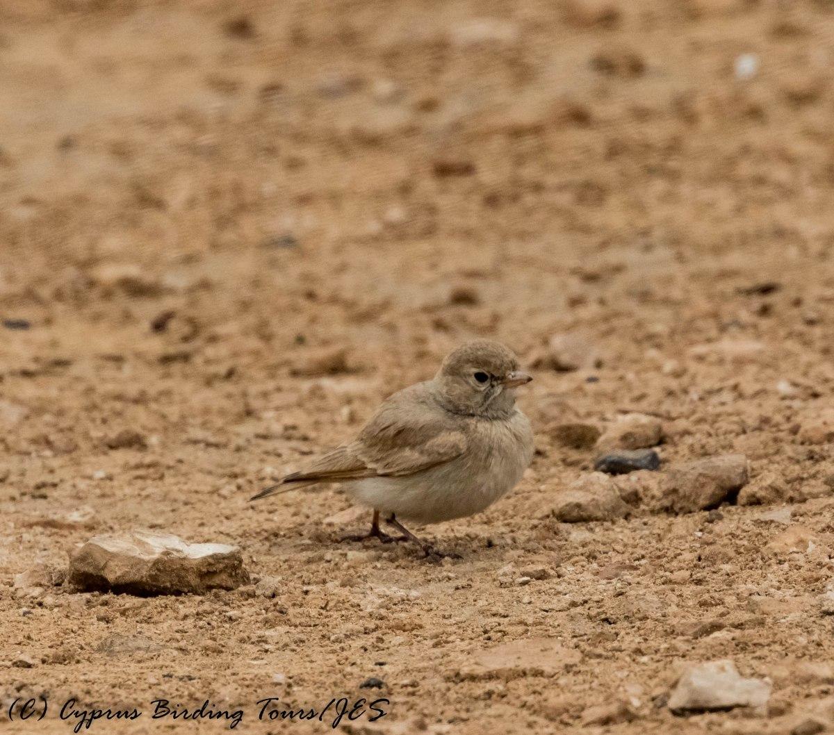 Bar-tailed Lark, Cape Greco 13th April 2017 (c) Cyprus Birding Tours