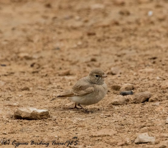 Bar-tailed Lark, Cape Greco 13th April 2017 (c) Cyprus Birding Tours