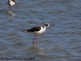 Black-winged Stilt, Lady's Mile, 8th April 2017 (c) Cyprus Birding Tours