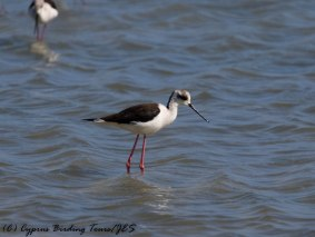 Black-winged Stilt, Lady's Mile, 8th April 2017 (c) Cyprus Birding Tours