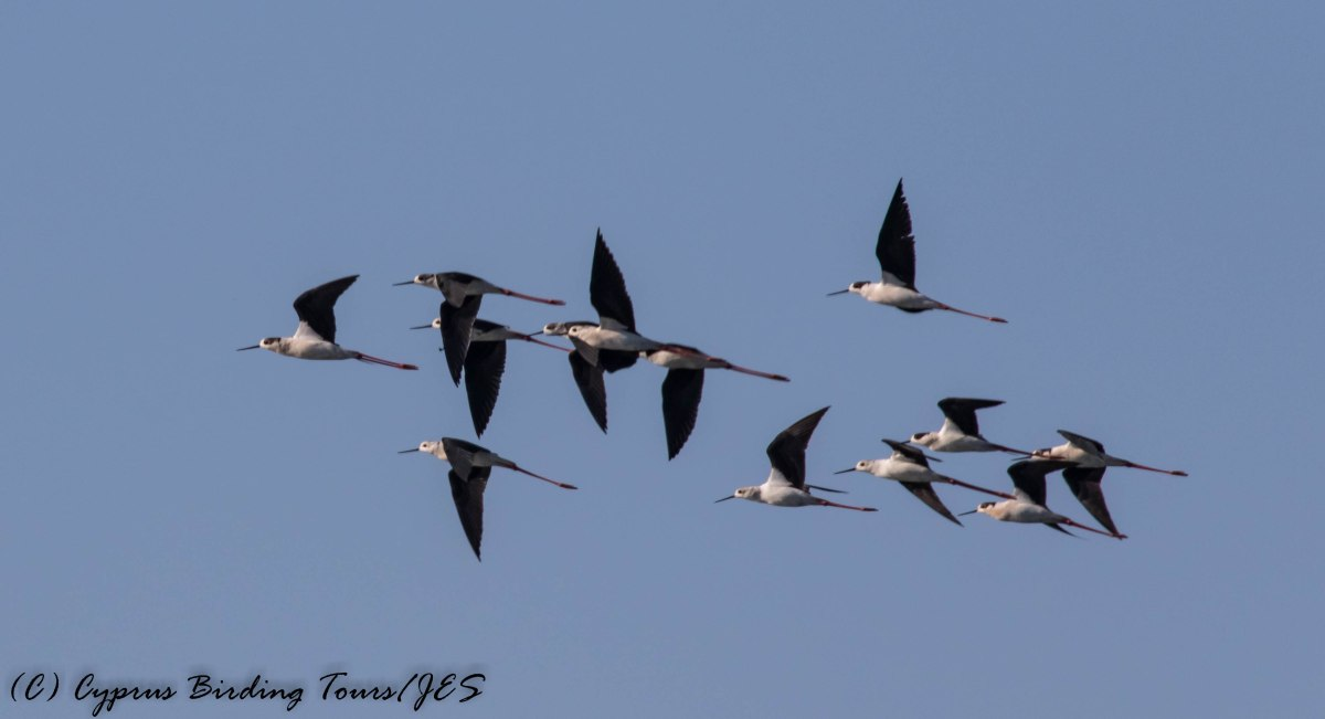 Black-winged Stilt, Timi Beach 5th April 2017 (C) Cyprus Birding Tours