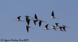 Black-winged Stilt, Timi Beach 5th April 2017 (C) Cyprus Birding Tours