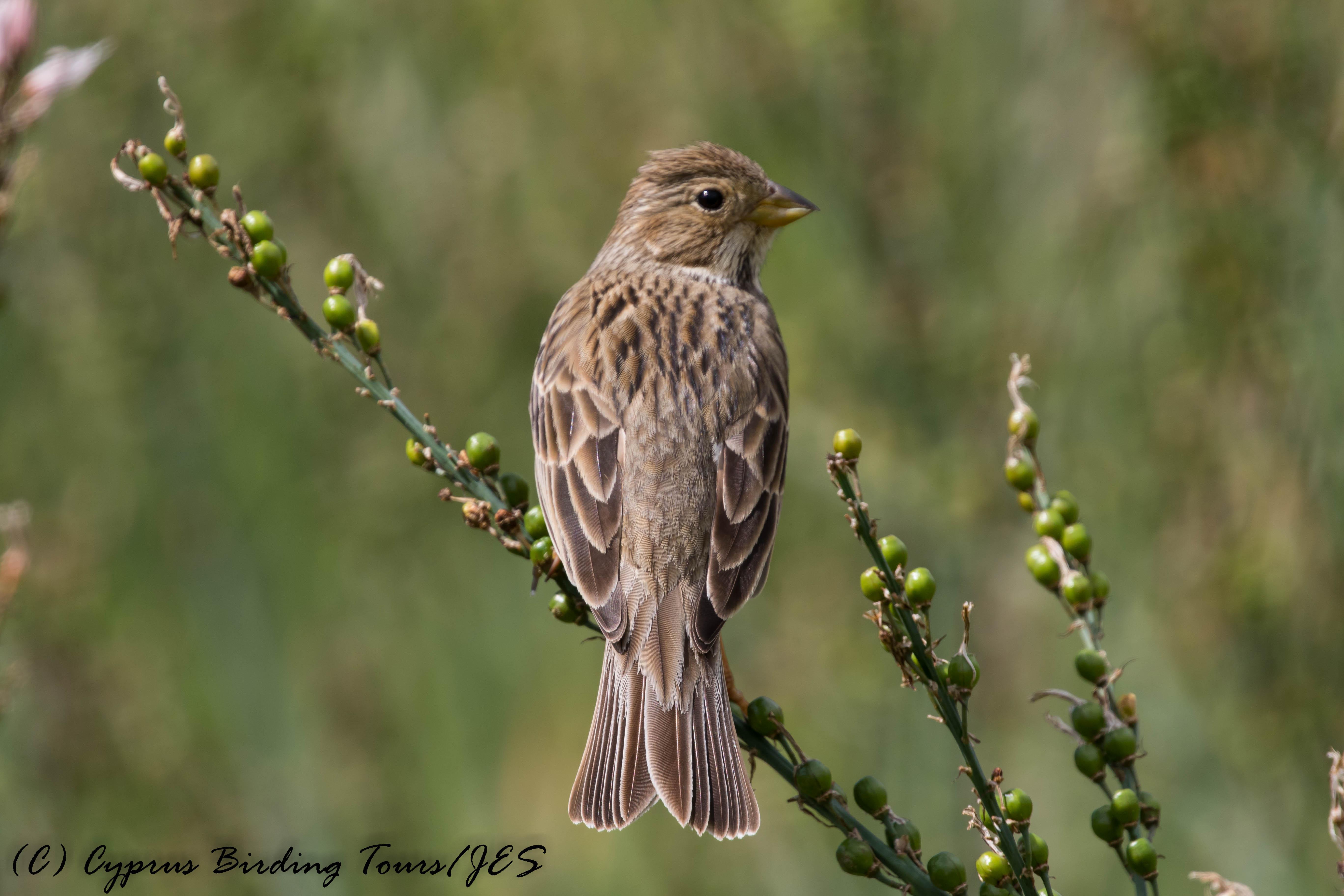 Corn Bunting, Anarita Park, 1st April 2017 (c) Cyprus Birding Tours