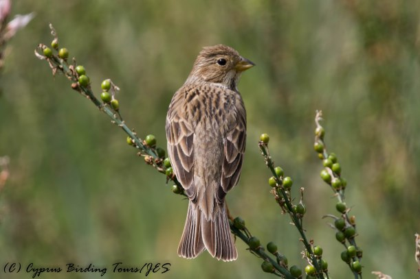 Corn Bunting, Anarita Park, 1st April 2017 (c) Cyprus Birding Tours