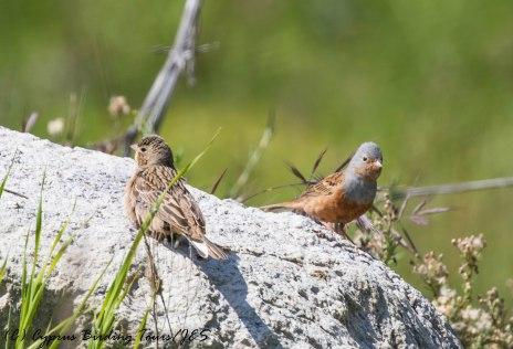 Cretzschmar's Bunting, Germasogeia Dam, 9th April 2017 (c) Cyprus Birding Tours