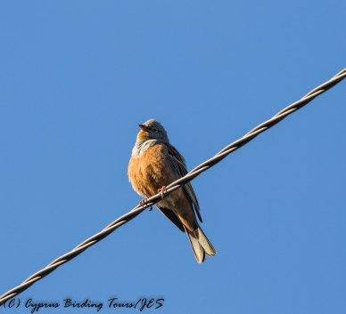Cretzschmar's Bunting, Prastio Kellakiou, 7th April 2017 (c) Cyprus Birding Tours
