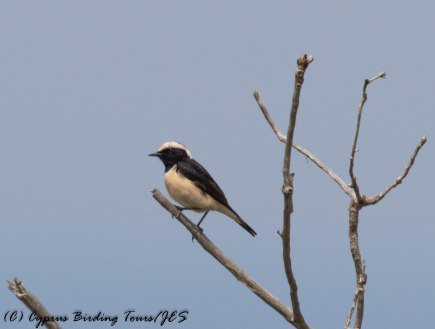 Cyprus Wheatear, Arodes, 10th April 2017 (c) Cyprus Birding Tours