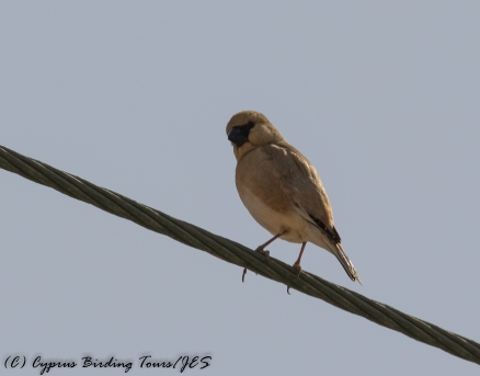 Desert Finch Cape Greco 30th April 2017 (c) Cyprus Birding Tours