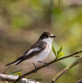 European Pied Flycatcher, Kiti Dam, 15th April 2017 (c) Cyprus Birding Tours