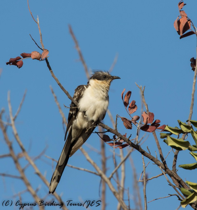 Great Spotted Cuckoo, Mennogeia, 23rd April 2017 (c) Cyprus Birding Tours