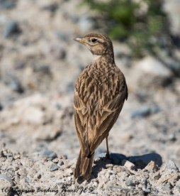 Greater Short-toed Lark, Germasogeia Dam 24th April 217 (c) Cyprus Birding Tours