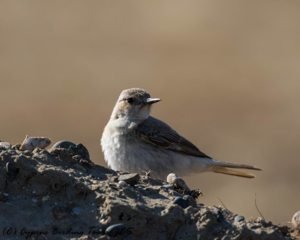 Hooded Wheatear f Meneou 25th April 2017 (c) Cyprus Birding Tours