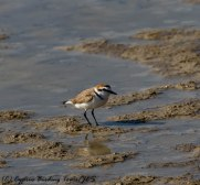 Kentish Plover, Larnaca Airport Pools, 3rd April 2017 (c) Cyprus Birding Tours