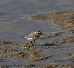 Kentish Plover, Larnaca Airport Pools, 3rd April 2017 (c) Cyprus Birding Tours