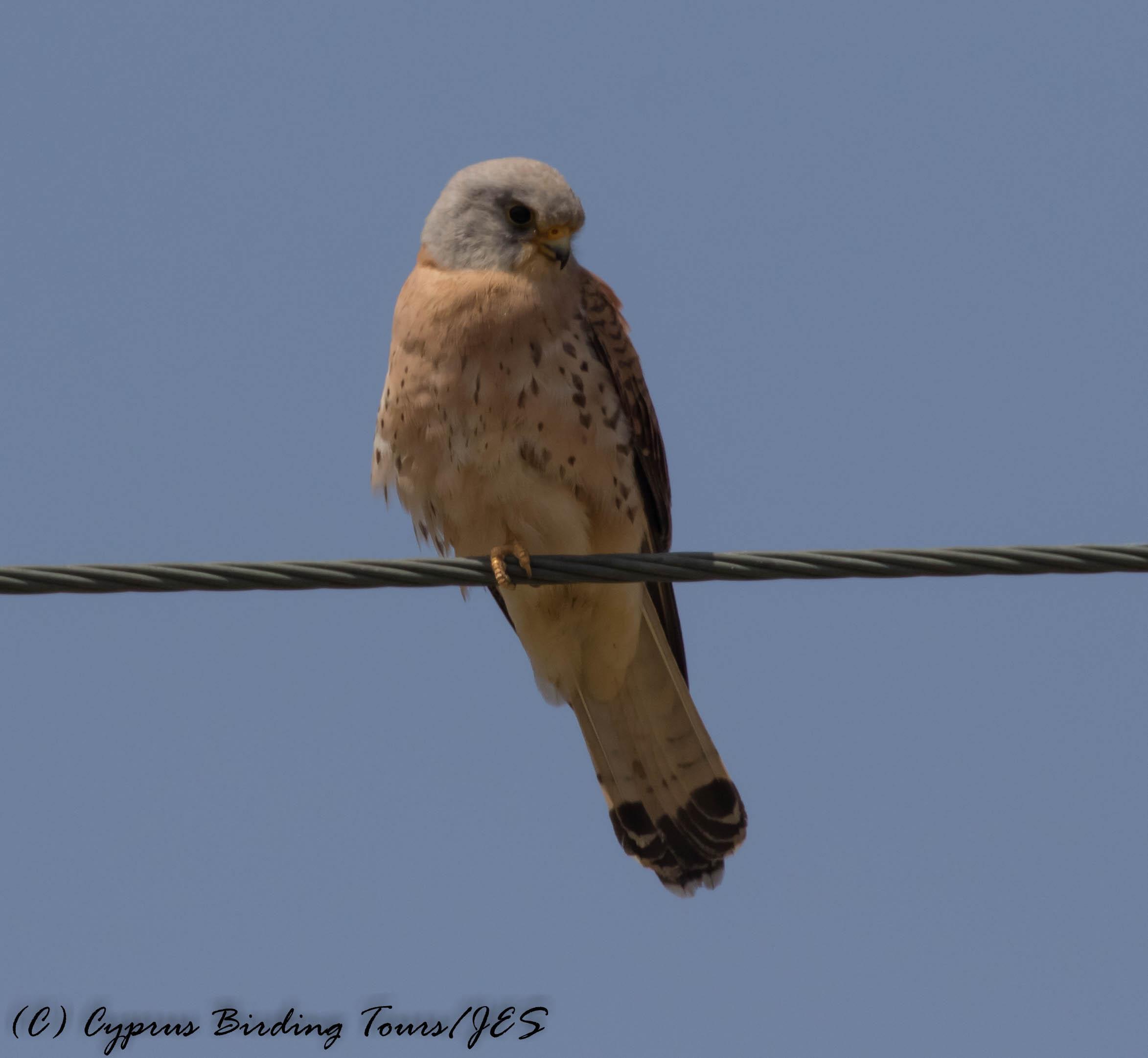 Lesser Kestrel, Anarita Park 20th April 2017 (c) Cyprus Birding Tours