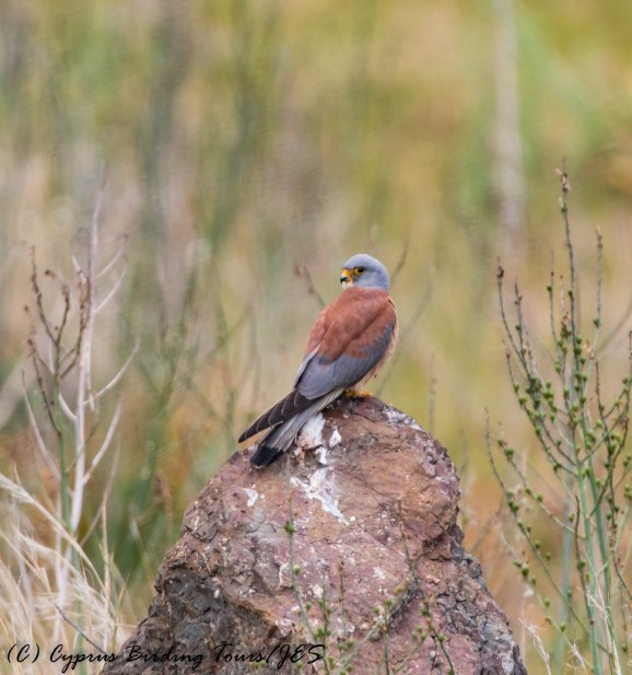Lesser Kestrel, Anarita Park, 12th April 2017 (c) Cyprus Birding Tours