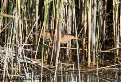 Little Bittern, Zakaki Marsh 26th April 2017 (c) Cyprus Birding Tours