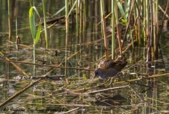Little Crake, Zakaki Marsh 1st April 2017 (c) Cyprus Birding Tours