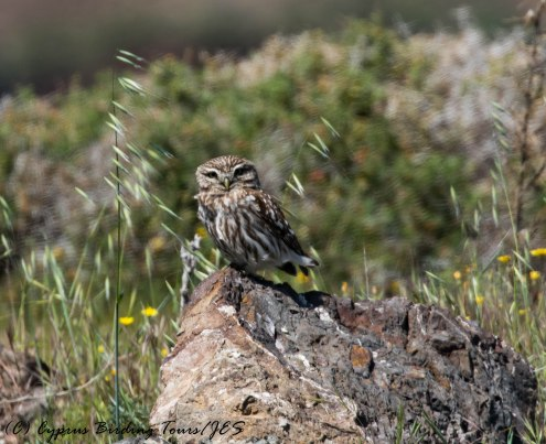 Little Owl, Anarita Park, 4th April 2017 (c) Cyprus Birding Tours