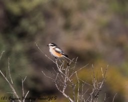Masked Shrike, Prastio Kellakiou 7th April 2017-1