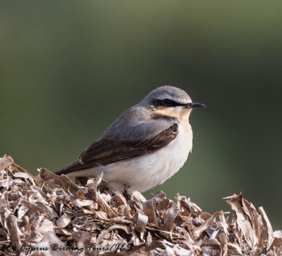 Northern Wheatear, Paphos Sewage Works, 14th April 2017 (c) Cyprus Birding Tours