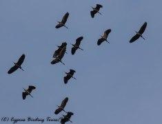 Purple Heron, Zakaki Marsh, 11th April 2017 (c) Cyprus Birding Tours