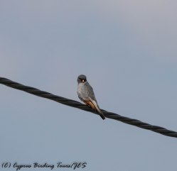 Red-footed Falcon, Kivisil fields, 15th April 2017 (c) Cyprus Birding Tours