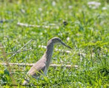 Squacco Heron, Phasouri, 7th April 2017 (c) Cyprus Birding Tours