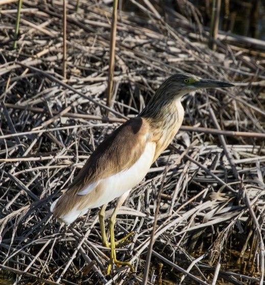 Squacco Heron, Zakaki Marsh, 11th April 2017 (c) Cyprus Birding Tours